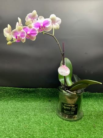 Mini Phalaenopsis Orchid (Moth Orchids)